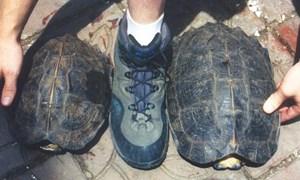 Hải quan Nghệ An bắt giữ 7 kg cá thể rùa vô chủ