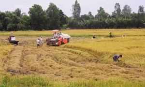 Tái cơ cấu ngành lúa gạo, tạo chuỗi sản xuất bền vững