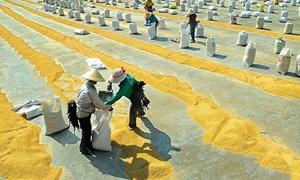 Thương nhân kinh doanh xuất khẩu gạo có trách nhiệm thực hiện các biện pháp bình ổn giá thóc, gạo