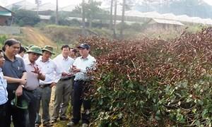 Lâm Đồng: Sát sao khắc phục hậu quả cà phê nhiễm sương muối