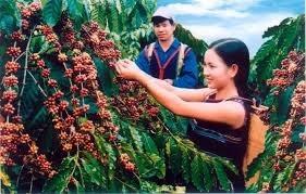 Phát triển bền vững cây cà phê nhờ tái canh