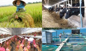 Bảo hiểm nông nghiệp: Ngổn ngang trăm mối khó!