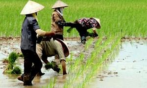 Đất chuyên trồng lúa nước được ngân sách nhà nước hỗ trợ 1 triệu đồng/ha/năm