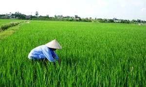 Ứng dụng tiến bộ kỹ thuật cho nhiều giống lúa mới có năng suất cao