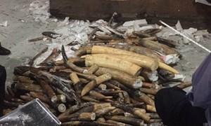 Hơn 600 kg ngà voi chứa trong 2 container gỗ nhập khẩu