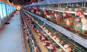 Đưa chăn nuôi gia cầm lên vị thế mới, hướng đến xuất khẩu