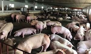 Thiệt hại do dịch tả lợn châu Phi, người chăn nuôi được hỗ trợ bao nhiêu?