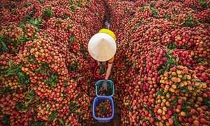 Nông sản Việt và một nửa tín hiệu tốt từ Hà Lan...