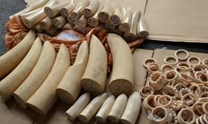 Lại phát hiện nhập lậu hơn 90kg ngà voi qua Cửa khẩu Tân Sơn Nhất