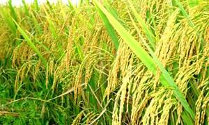 """Lúa gạo """"bất ngờ"""" nằm trong danh sách """"tiềm năng xuất khẩu thấp"""