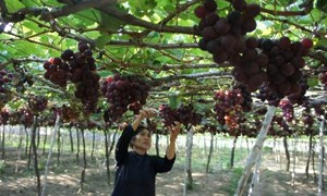 Triển vọng phát triển vùng trồng nho ở Lạng Sơn