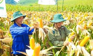 Lào Cai liên kết sản xuất ngô bền vững