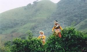 Sơn La tập trung phát triển vùng chè Tà Xùa