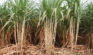 Cao Bằng: Đầu tư trên 11 tỷ đồng phát triển mía đường