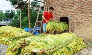 Cao Bằng: 400 tỷ đồng/năm từ phát triển vùng cây thuốc lá
