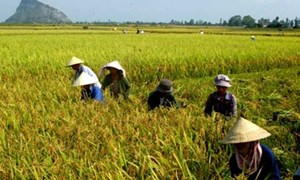 Tìm hướng bảo vệ và phát triển đất trồng lúa