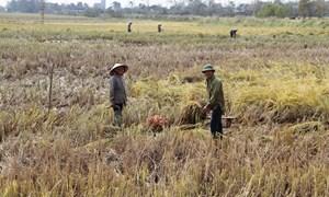 """Bảo hiểm nông nghiệp: """"Liều thuốc"""" tốt cứu nông dân"""