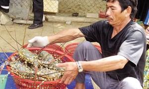 Phú Yên: Giá tôm hùm giảm tới nửa triệu đồng một kg
