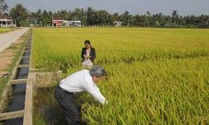 Hoài Nhơn – Bình Định: Mô hình trồng lúa kiểu mẫu