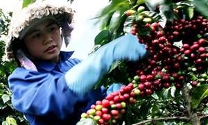 Lâm Đồng: Cấp gần 2 tỷ đồng hỗ trợ bảo quản, chế biến cà phê sau thu hoạch