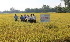 Bình Định: Giống lúa lai mới TH3-7 tăng trưởng và phát triển tốt