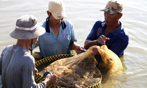 Đồng bằng sông Cửu Long có tiềm năng rất lớn để nuôi tôm nước lợ