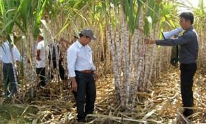 Sơn Nguyên, Phú Yên: Làm giàu từ cây mía