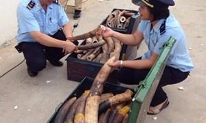 Hải quan bắt giữ 309 kg ngà voi tại sân bay Nội Bài