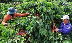 Agribank chung sức cùng Tây Nguyên tái canh cây cà phê