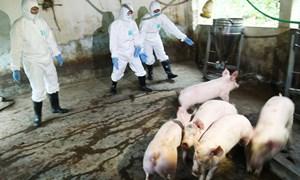 [Video] Những con đường lây nhiễm của virus dịch tả lợn châu Phi