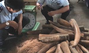 [Video] Hàng trăm kg ngà voi giấu trong container nhựa đường