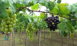 [Video] 1.500 ha nho Ninh Thuận vào mùa thu hoạch