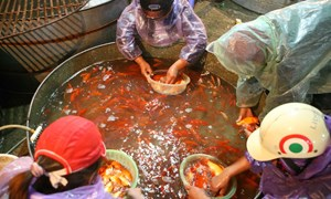 [Video] Chợ cá chép lớn nhất miền Bắc nhộn nhịp trước ngày cúng ông Táo