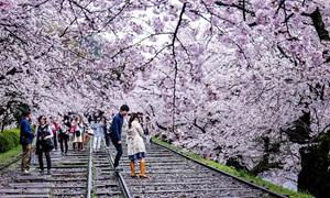 Đắm mình với thảm hoa mùa xuân rực rỡ tại Nhật Bản