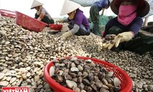 Nuôi ngao trên vùng lấn biển và nỗ lực chinh phục biển cả của cư dân Tiền Hải