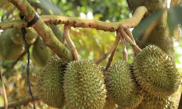 Thu thuế các vựa thu mua sầu riêng tại Đắk Lắk là đúng quy định của pháp luật
