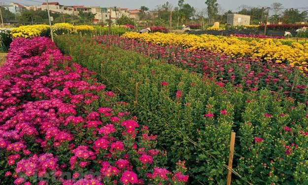 [Ảnh] Thưởng lãm cánh đồng hoa Viên Sơn rực rỡ sắc màu ngày Xuân