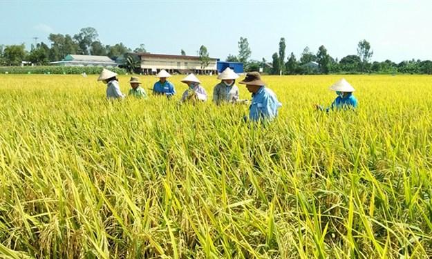 Nâng cao hiệu quả sản xuất lúa theo mô hình cánh đồng lớn tại huyện Mỹ Xuyên, Sóc Trăng