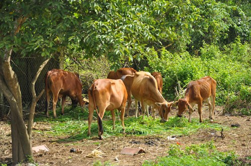 Huyện Kỳ Anh thành công với mô hình chăn nuôi bò thịt