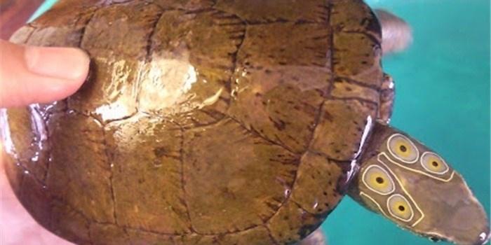 Tạm giữ đối tượng vận chuyển rùa 4 mắt và rùa trán vàng quý hiếm