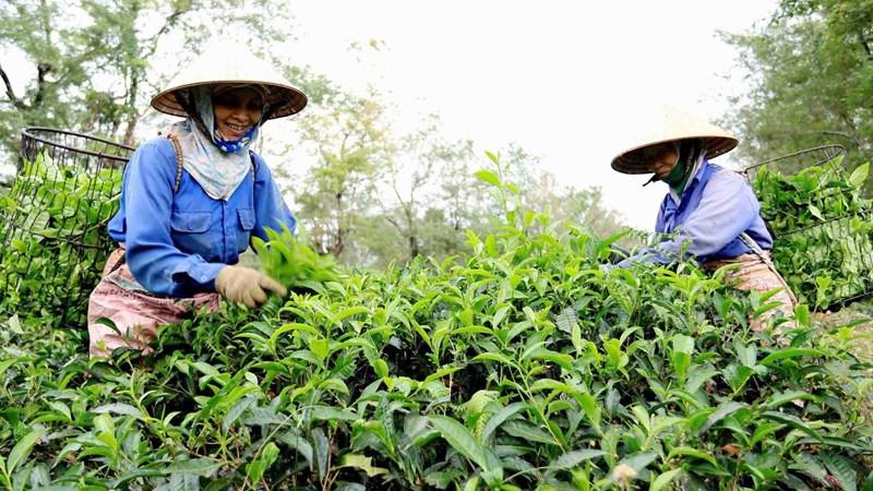 Tiếp tục sắp xếp, đổi mới, phát triển và nâng cao hiệu quả hoạt động của các công ty nông, lâm nghiệp