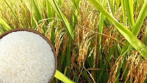 Giá chào bán gạo xuất khẩu của Việt Nam tiếp tục ổn định