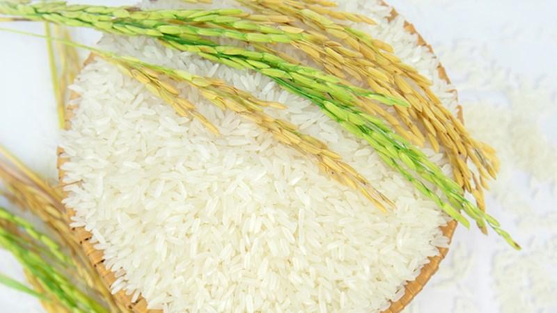 Giá lúa gạo ngày 11/6: Giá lúa Hè thu thu hoạch sớm giảm