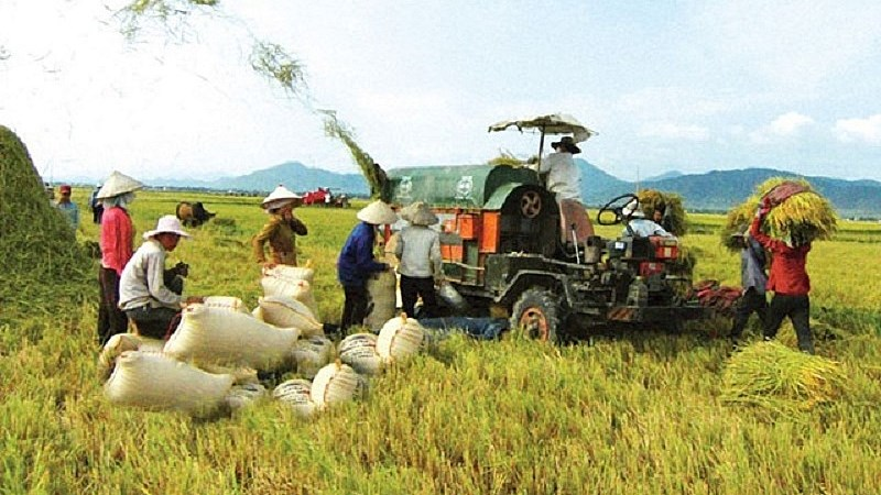 Giá lúa gạo hôm nay 21/7: Giá lúa tiếp tục tăng