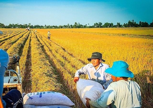 Giá lúa gạo tiếp tục tăng nhẹ