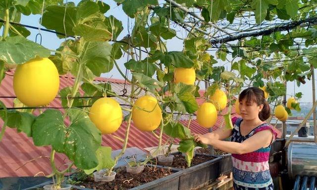 [Video] Vườn dưa trĩu quả vàng óng trên sân thượng ở Hà Nội