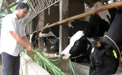 Thí điểm bảo hiểm vật nuôi ở Vĩnh Phúc: Những kết quả bước đầu