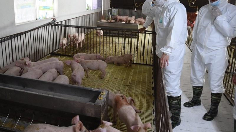 Cuối năm nay, cung - cầu thịt lợn trong nước sẽ cân bằng