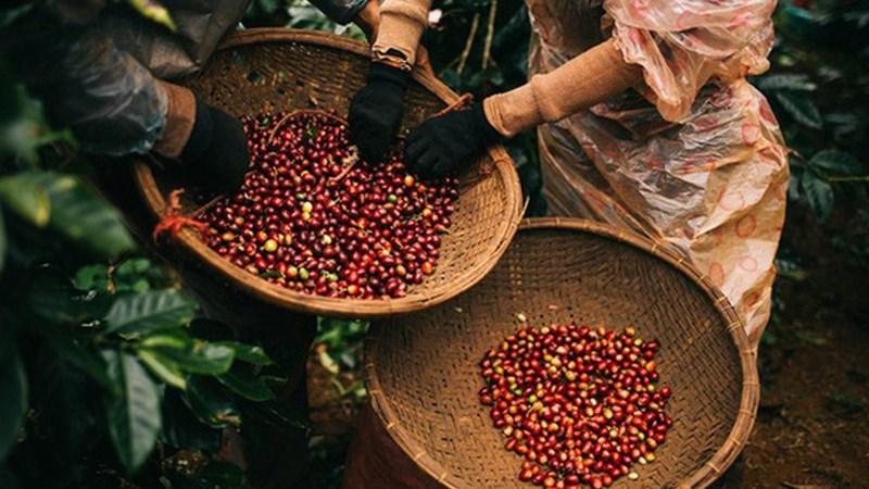 Tìm giải pháp thúc đẩy phát triển cà phê bền vững