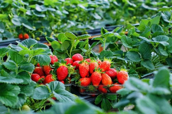 Lâm Đồng: Đầu tư ứng dụng công nghệ cao, đẩy mạnh xuất khẩu rau quả